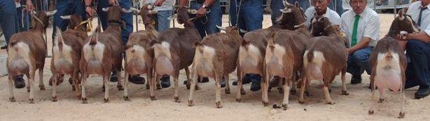 toggenburgers utrecht 2006 oudere geiten.jpg-1