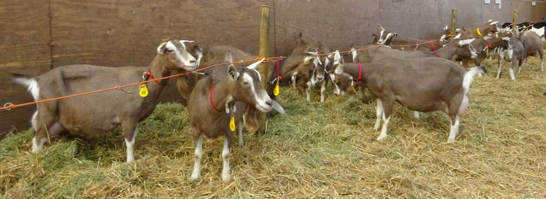 Inzending toggenburger geiten.