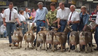 2008 Kootwijkerbroek Oudere Toggenburger geiten