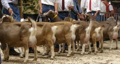 2008 Kootwijkerbroek Oudere Toggenburger geiten.